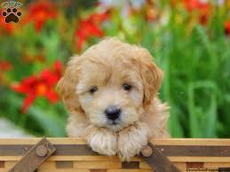 Best 25 Miniatures Ideas On by Best 25 Miniature Puppies Ideas On Pinterest Miniature Dogs