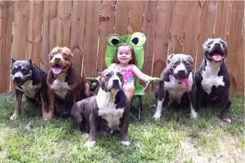 american pitbull terrier jaw how common are pit bull attacks quora