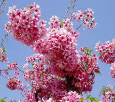 Trees With Pink Flowers Ozark U2014 Locallygrown Net