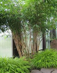 130 best bamboo images on bamboo landscaping ideas