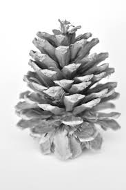 white pine cone rustic black and white pinecone instant photography downloadable