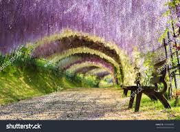 Great Wisteria Flower Arch Stock Photo 159996830 Shutterstock
