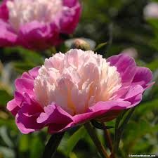 Peonies For Sale Show Stopping Peony U0027gay Paree U0027 Is A Two Toned Wonder Bright