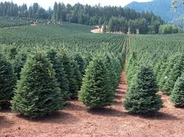 christmas marvelous christmas tree farms near me picture