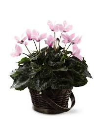 how to care for a potted cyclamen plant grower direct fresh cut