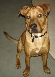 jack russell american pitbull terrier mix pittweiler dog breed information and pictures