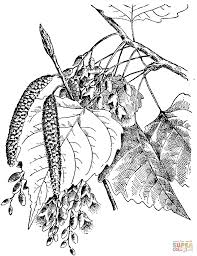 eastern cottonwood leaves coloring page free printable coloring