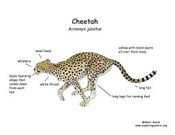 astonishing interesting what color is a cheetah print coloring