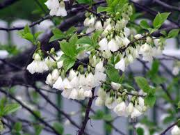 care of carolina silverbell tips for growing halesia siverbells