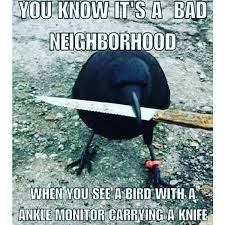 Crow Meme - canada s most notorious crow steals police evidence neatorama