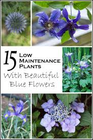 15 low maintenance plants with beautiful blue flowers low