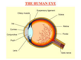 Anatomy Of Human Eye Ppt Ppt Chapter 11 The Human Eye And The Colourful World