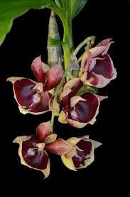 wheel shaped flower buds of stenocarpus sinuatus queensland 3027 best flores y plantas increíbles images on pinterest plants