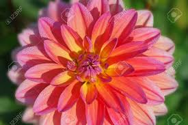 dahlia flower meaning 1288