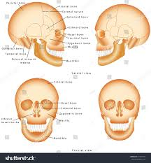 Anatomy And Physiology Labeling Human Skull Structure Skull Anatomy Labeling Stock Vector