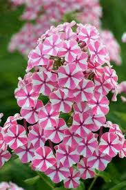 phlox flower 37 best phlox images on flower gardening flowers and