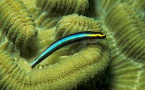 cleaner fish wikipedia