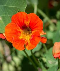 nasturtium flower flower seed 1 oz