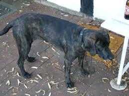 bluetick coonhound weight too kool doggies coon dog cemetery