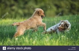 australian shepherd wolf mix australian shepherd puppy golden retriever puppy playing meadow
