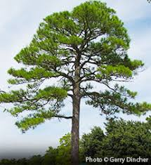 loblolly pine tree on the tree guide at arborday org