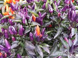 ornamental peppers capsicum annuum garden helper gardening