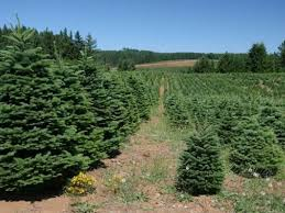 cut your own locally grown christmas tree near madison madison