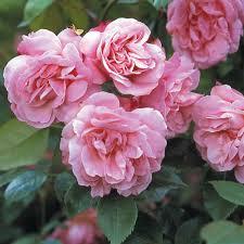 china with roses china roses david roses