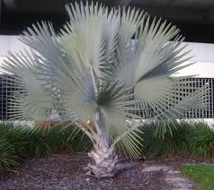 sylvester palm tree prices buy bismark palm trees for sale in orlando kissimmee