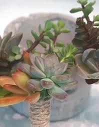 Succulent Boutonniere Plantit Succulent Air Plant Cactus Plant Wedding Party