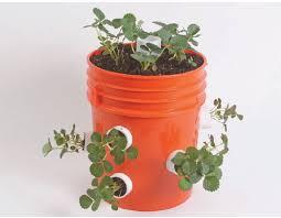 grow strawberries in a 5 gallon bucket quarto homes