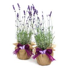 christmas plants pair of english lavenders by giftaplant