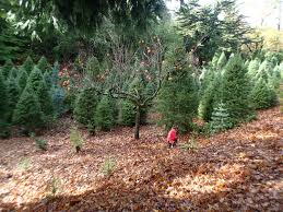 a little bit of the outdoors indoors christmas tree chopping