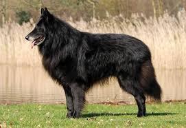 belgian sheepdog trials canadian kennel club club canin canadien