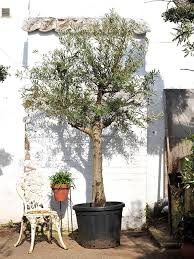 olive trees for sale the norfolk olive tree company