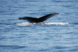 why researchers think humpback whale swam up the hudson nj com