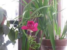 Fragrant Plants For Pots Freesia At Last