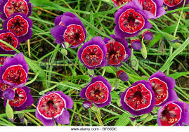 South African Wild Flowers - south african flower stock photos u0026 south african flower stock