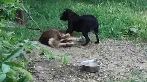 australian shepherd top speed pit bull vs australian shepherd youtube