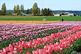 skagit valley tulip festival bloom map skagit valley tulip festival plan your trip