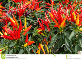 ornamental pepper plants with peppers stock photo image