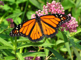 growing milkweed for monarchs not as simple as it sounds