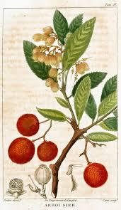 native plants of ireland arbousier strawberry tree arbutus unedo irish strawberry