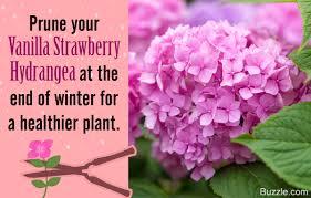 hydrangea tips to care for the dazzling vanilla strawberry hydrangea