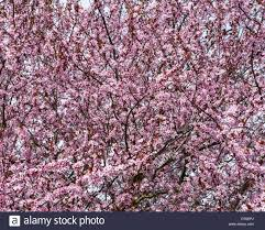 blooming ornamental plum tree bright pink blossom and flowers on