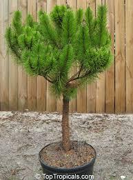 pinus clausa sand pine sams hoola sand pine toptropicals