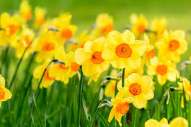 Flowers In Japanese Culture - daffodil flower meaning flower meaning