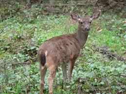 bc native plants deer density predicts diversity and aboriginal food value of