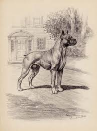 boxer dog quebec boxer dog for adoption in chandler az adn 423789 on puppyfinder