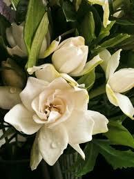 gardenia flower tips for fertilizing gardenia plants